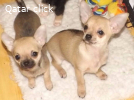 Adorable Chihuahua puppies both male and female ready to go
