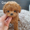 Adorable toy poodles puppies