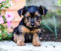 Adorable yorkie pupps