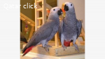 Affectionate African Grey parrot for adoption