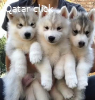 Amazing blue eyes Siberian huskies for Rehoming