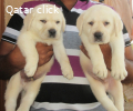 Beautiful male and female Golden retreiver puupiesfor sale