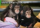 Chimpanzee Monkeys for Sale