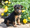 Cute adorable yorkie pup