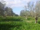 مزرعة ٢٧٠٠ أصل زيتون في تونس