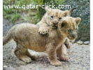 Lovely Lions Cubs for sale