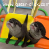 Lovely Otters available for sale