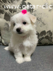 Playful Teacup Maltese Puppies