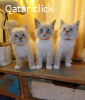 Quality gccf ragdoll kittens available now for adoption
