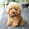 Teacup poodle puppies for adoption